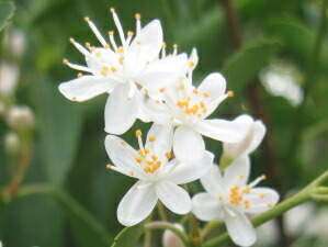 ハイノキ花(灰の木)
