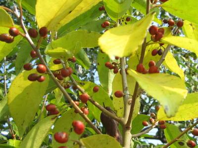 ナナミノキ(七実の木)の実