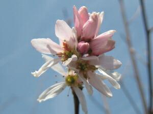 ジューンベリー(ロビンヒル)の花