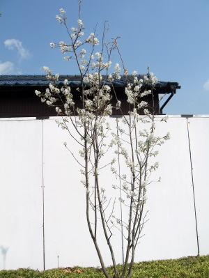 ジューンベリーの花(全景)