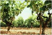 ラ フレシネーダ葡萄畑