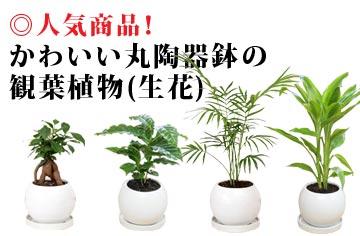 かわいい丸陶器鉢の観葉植物(生花)