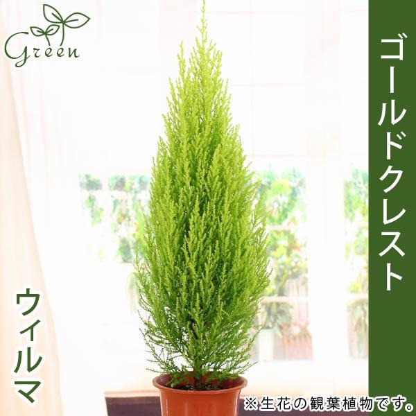 ゴールドクレスト 高さ約50-60cm<br>4号プラ鉢<br>庭木・観葉植物の苗木<br>クリスマスツリー