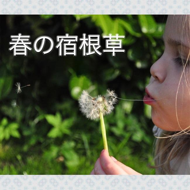 宿根草 苗