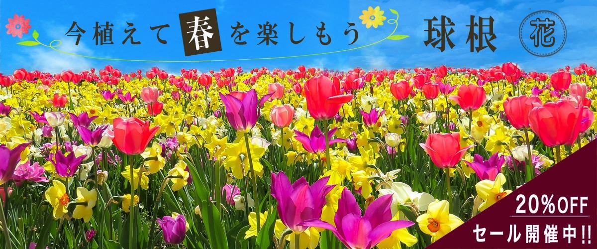花の球根SALE
