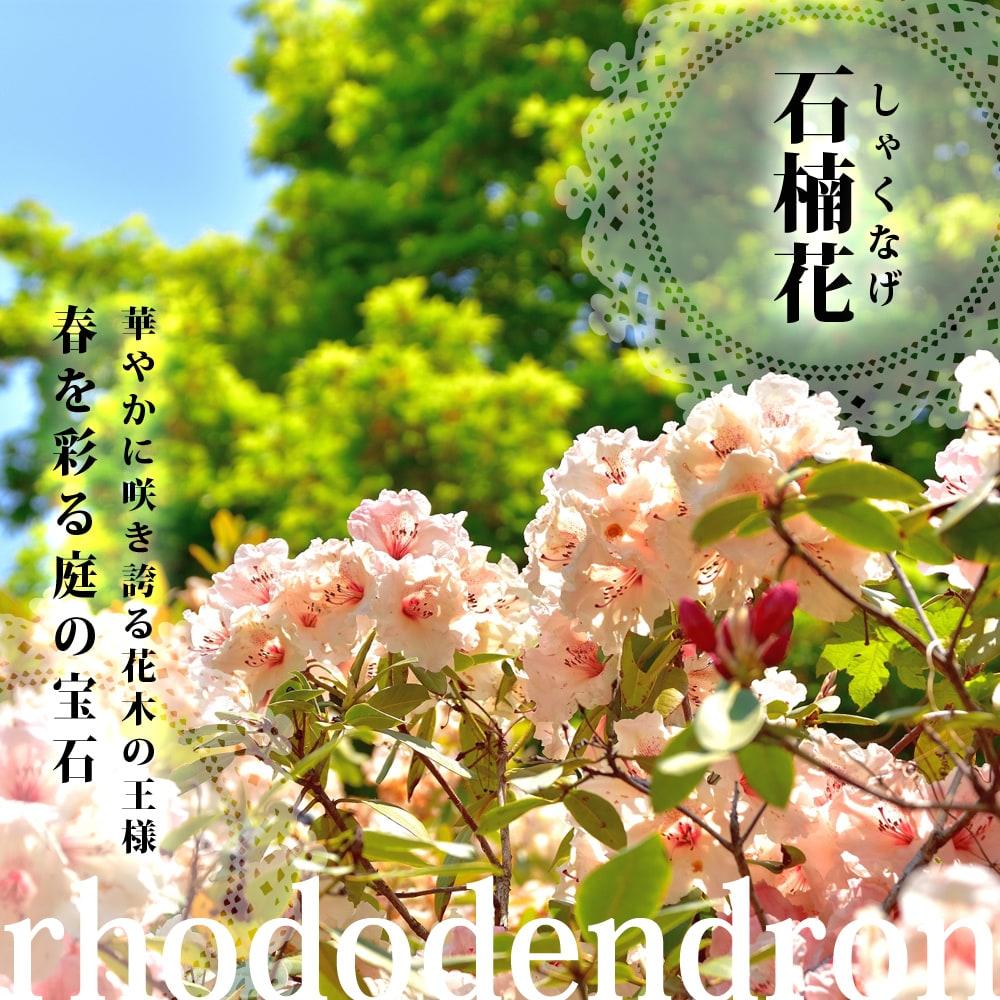 石楠花 シャクナゲ 鉢植え