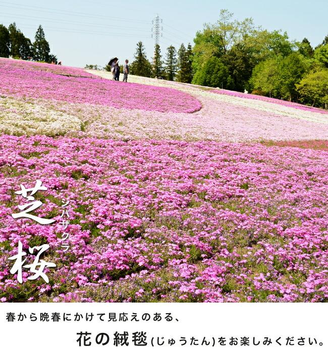 芝桜 苗 販売