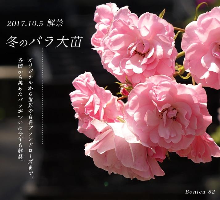 冬のバラ 2年生
