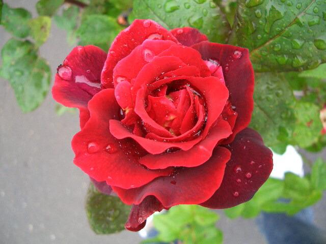 情熱の赤いバラ