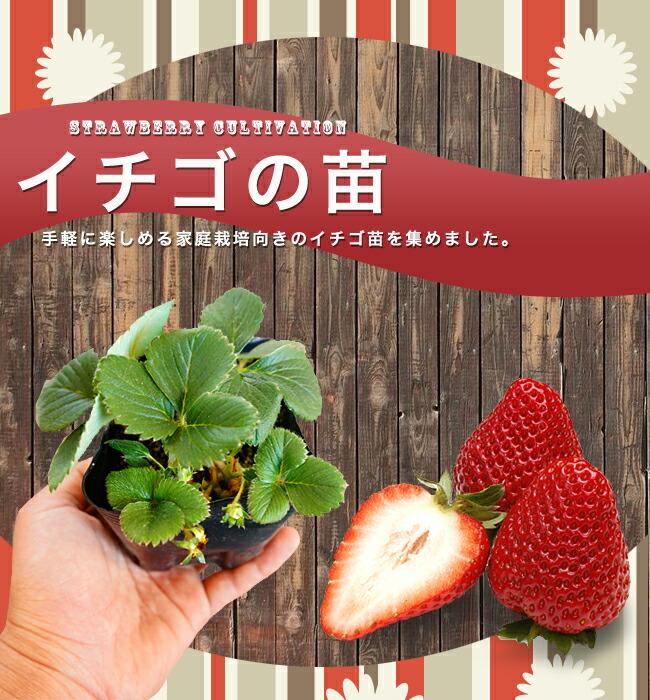 イチゴ 苗 販売