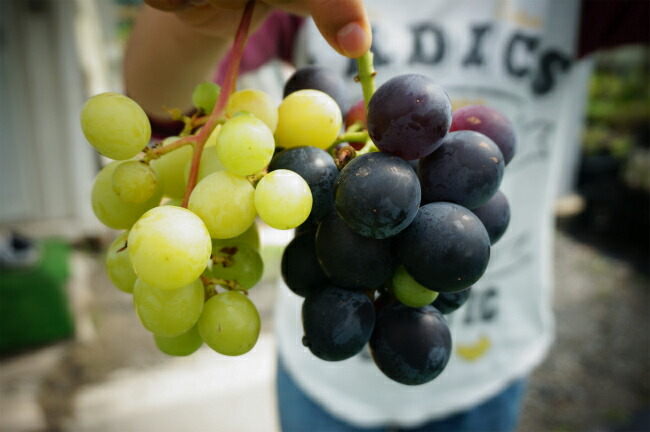 花ひろばオンラインで収穫したブドウゴルビー