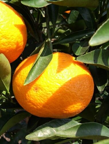 オレンジ 苗木