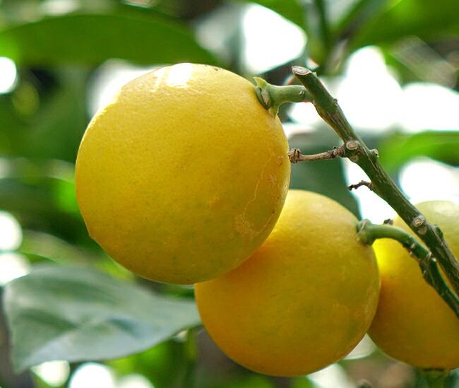トゲなしリスボンレモン最大の魅力は「トゲ」です。従来のリスボンレモンはトゲが長く鋭いのに対して、トゲなしレモンのトゲはその1/3の長さ  1.5cmなんです。