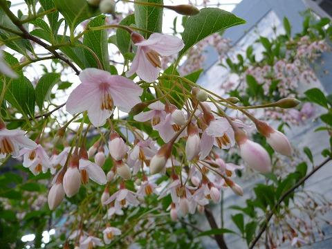 Hana online rakuten global market japanese storax pink chime cute pink bell shaped flowers are attractive mightylinksfo