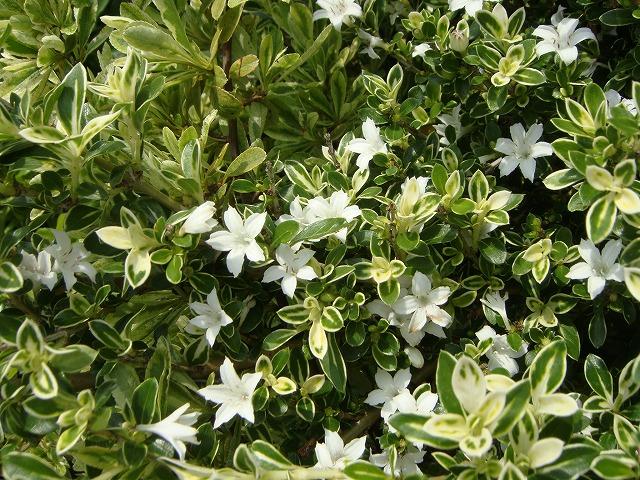 斑入りハクチョウゲ花