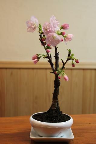 のんのさんの一才桜