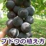 ブドウの植え方