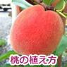 桃の植え方