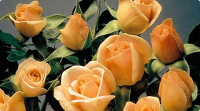 Min/Polミニバラ/ポリアンサ(花の小さいバラ)