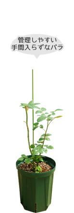 バラ1年生新苗深鉢