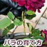 バラの育て方