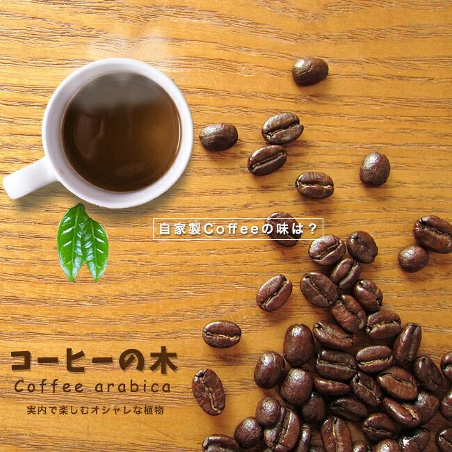 コーヒーの木 観葉植物 販売