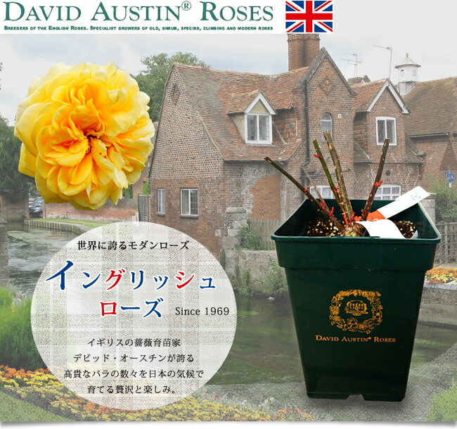 ER デビッド・オースチンのバラ