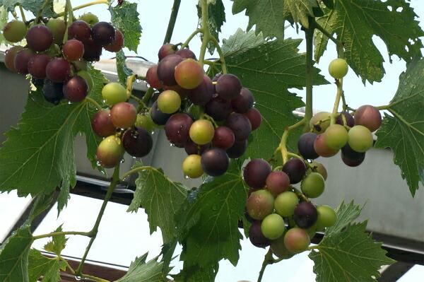 花ひろばオンライン実店舗でブドウ棚を作る