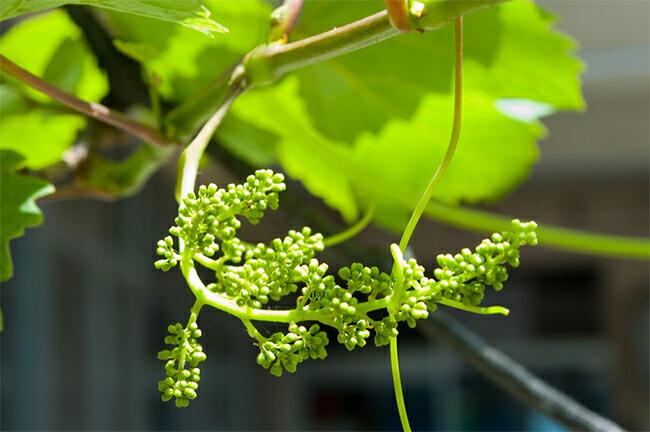 ブドウのジベレリン処理について