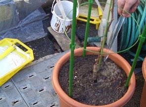 ブドウの鉢植え方法