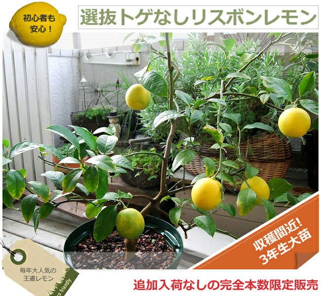 レモン トゲなしリスボンレモン 苗 販売
