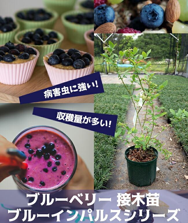 ブルーインパルス 接木ブルーベリー