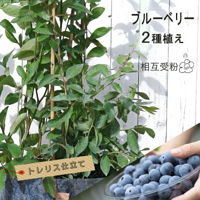 ブルーベリー 2種植え 苗 販売