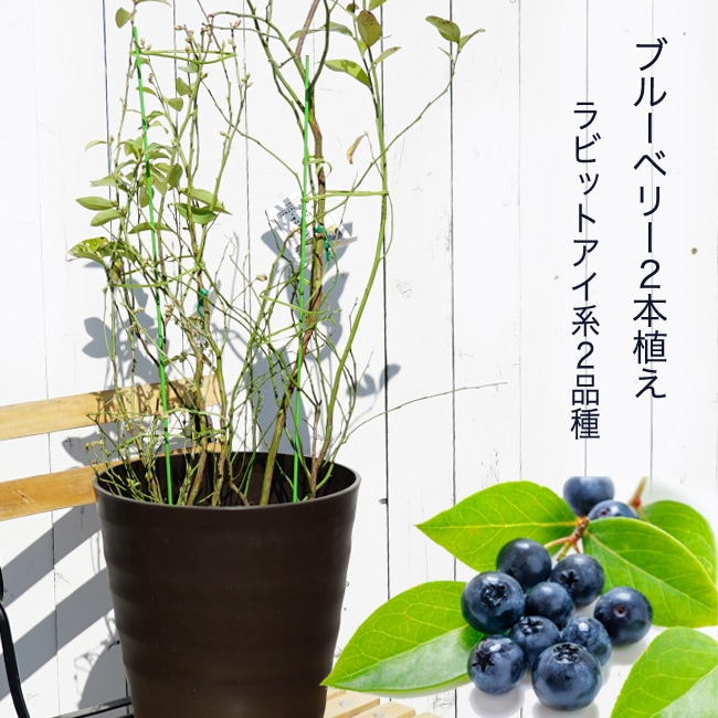 ブルーベリー2種植え