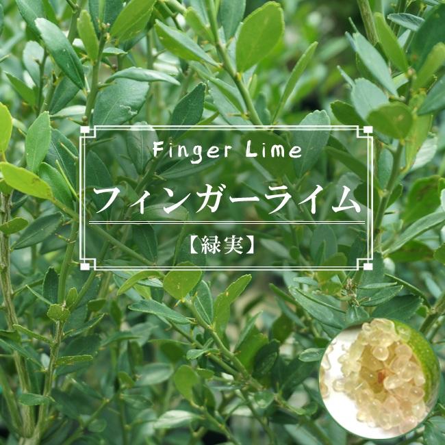 フィンガーライム 緑果肉 苗 販売