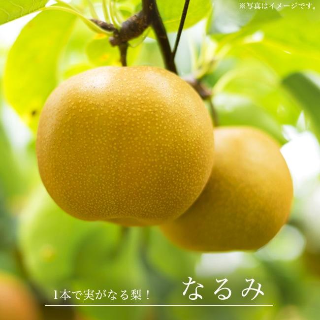 梨 なるみ 苗 販売