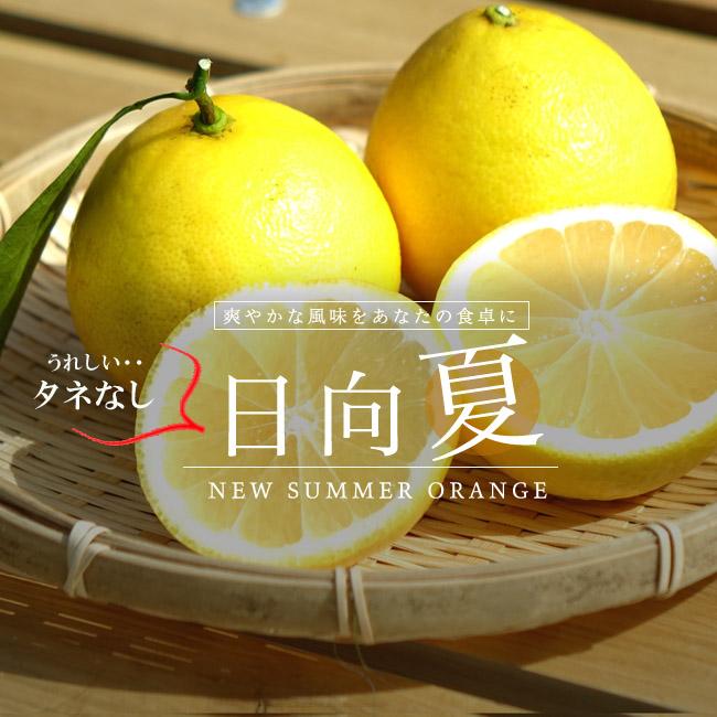 日向夏 ニューサマーオレンジ 苗 販売