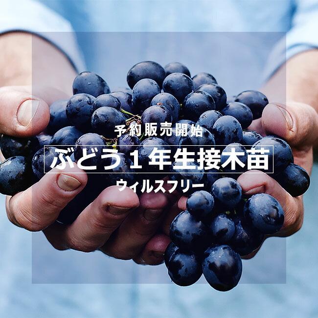 ブドウ 1年生苗 ウィルスフリー接木苗 販売
