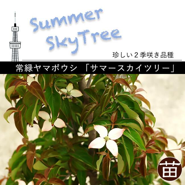 常緑ヤマボウシ サマースカイツリー