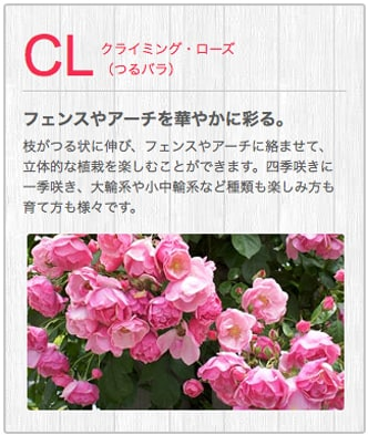CLクライミング・ローズ(つるバラ)