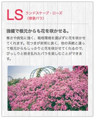 LSランドスケープ・ローズ(修景バラ)
