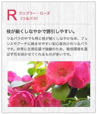 Rランブラー・ローズ(四季咲き中輪木立バラ)