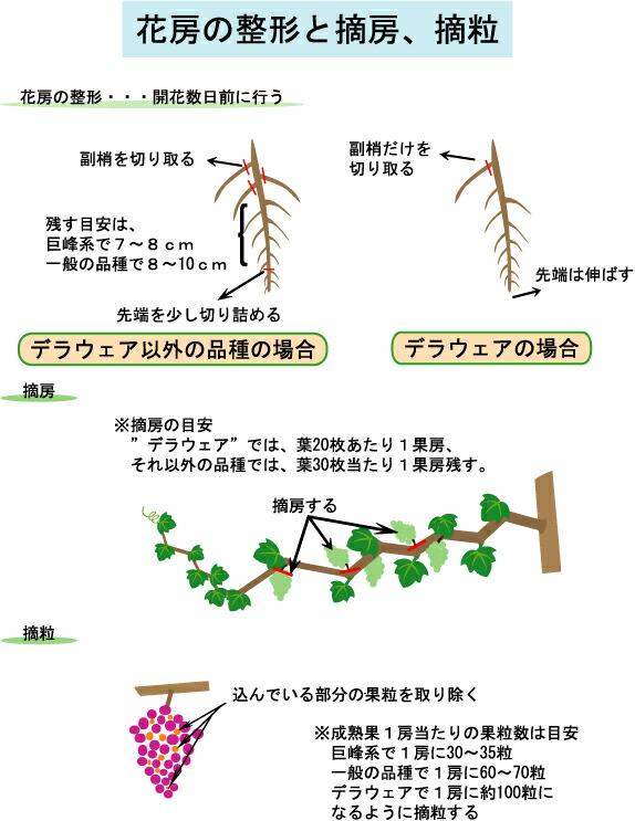ブドウの花房の整形と摘房・摘粒