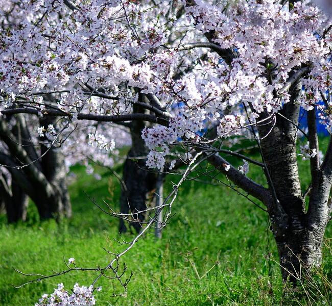 植木 記念樹