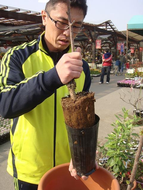 苗木を鉢から抜きます。