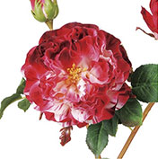 華やか庭咲き系ローズ:レッド/ワイン系