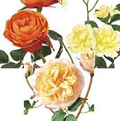 華やか庭咲き系ローズ:イエロー/オレンジ/ベージュ系