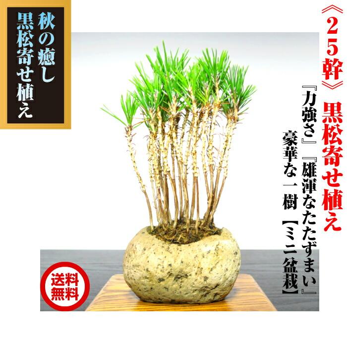 Old sensation resulting bonsai masters three years Japanese black pine  bonsai! W presents award to wind 'Takumi' tailoring first shipping old  three