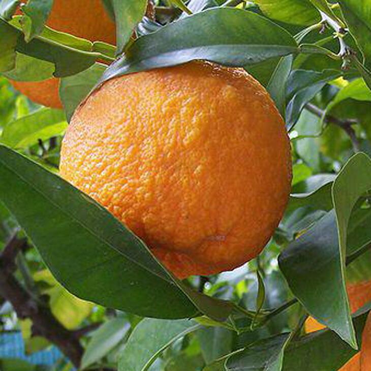 オレンジ ベルガモット
