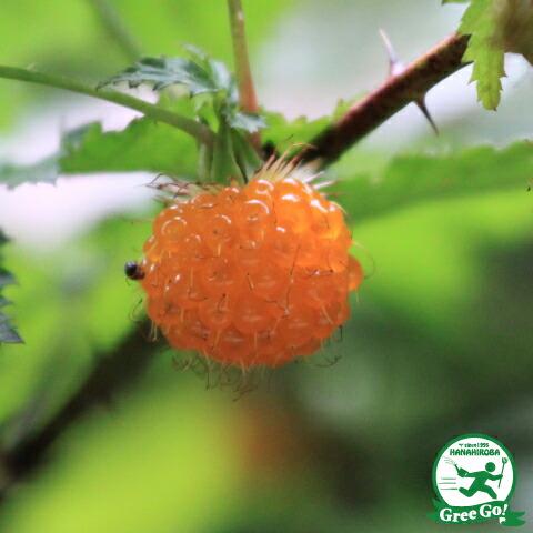 木イチゴキイチゴ